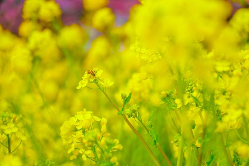 菜の花畑の蜂