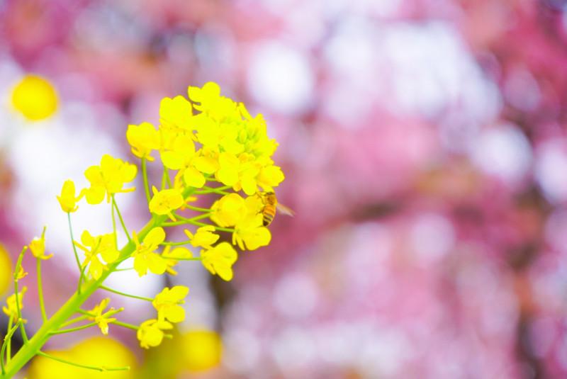 桜を背景にした菜の花と蜂