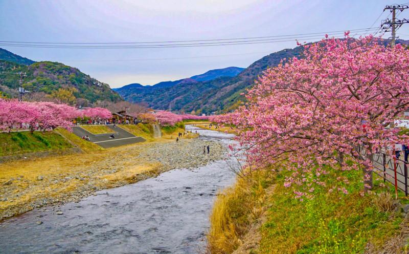 豊泉橋からみた川沿いの桜