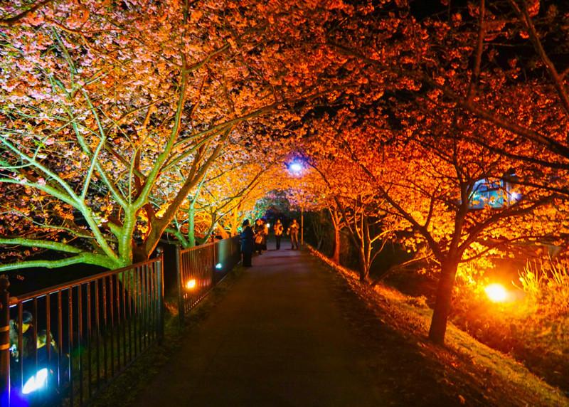 ライトアップされている豊泉橋~かわづいでゆ橋 間の桜の下