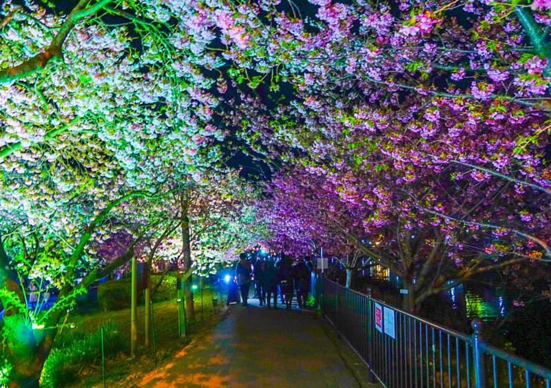 浜橋~館橋 間のライトアップされている桜の下