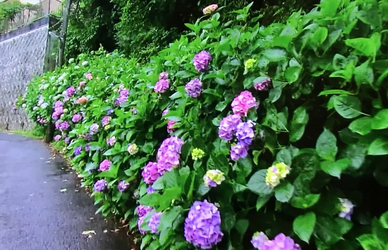 路上の紫陽花