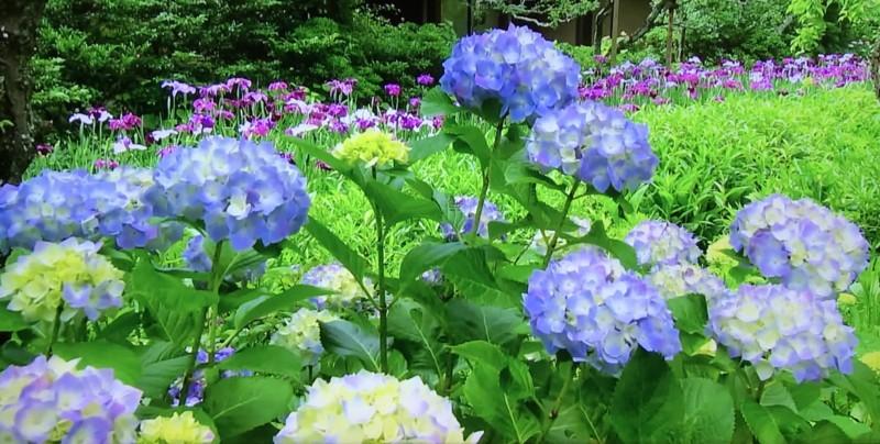 紫陽花と菖蒲の花