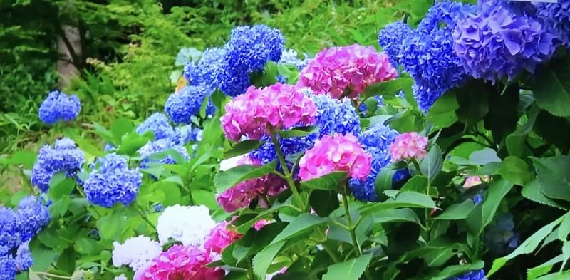 源氏山公園の紫陽花