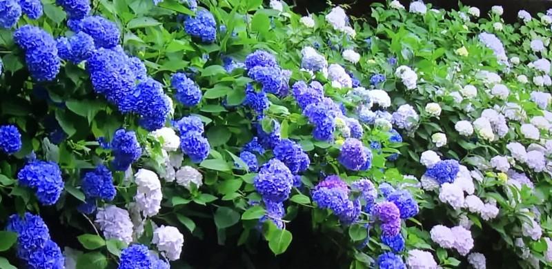 源氏山公園のカラフルな紫陽花