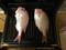 連子鯛グリル1