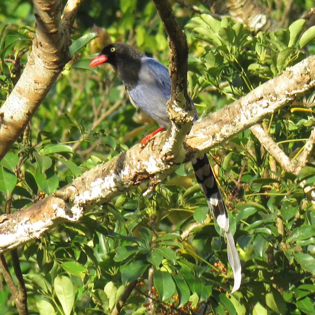 台湾の国鳥 ヤマムスメ