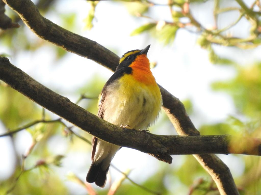 夏鳥キビタキ