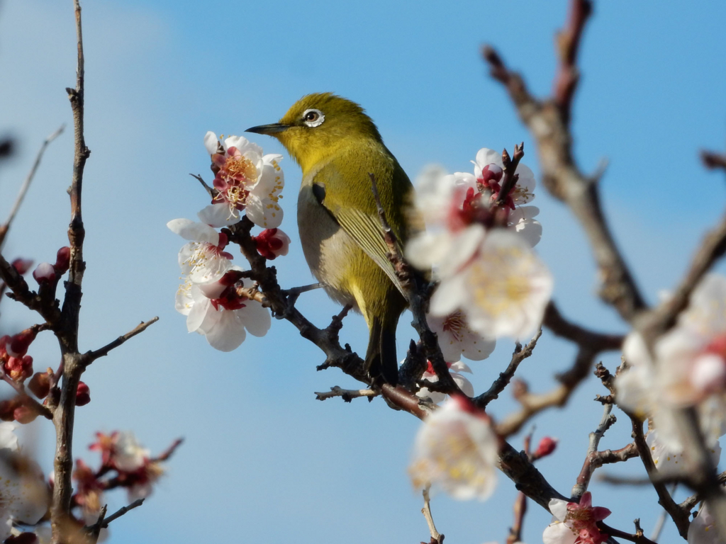 メジロ 桜