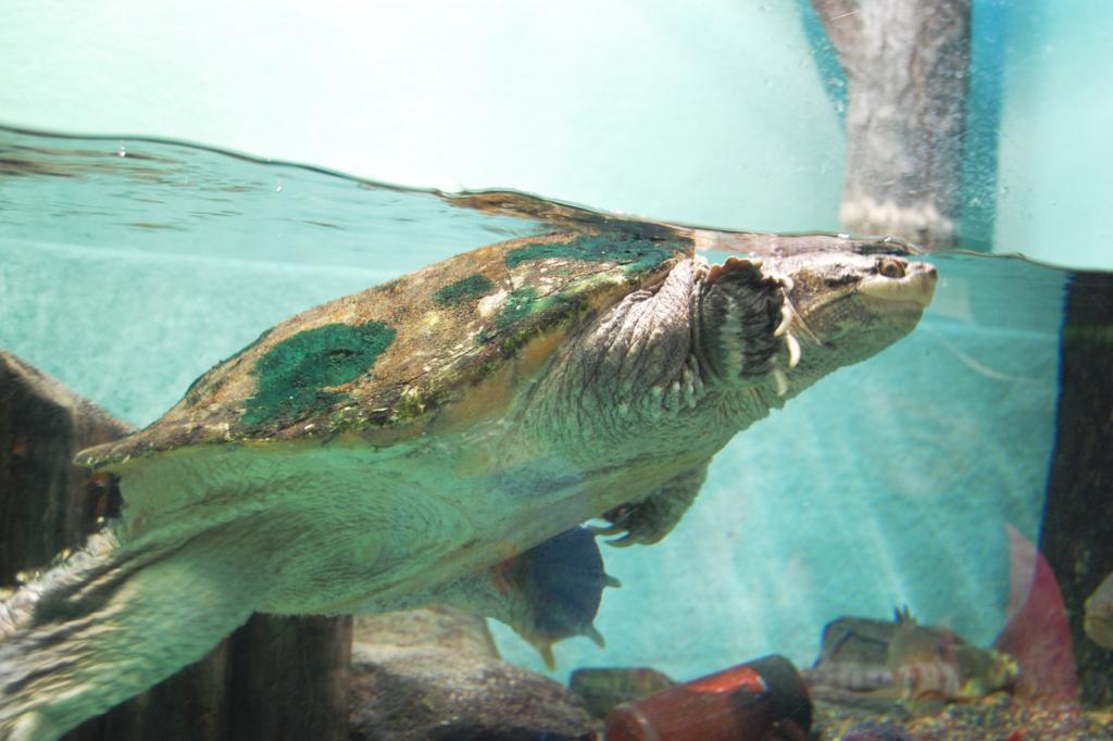 外来種ワニガメ