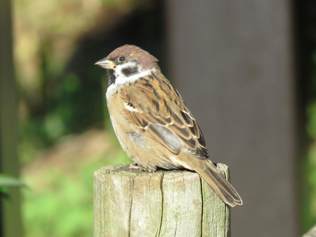 Japanese Sparrow