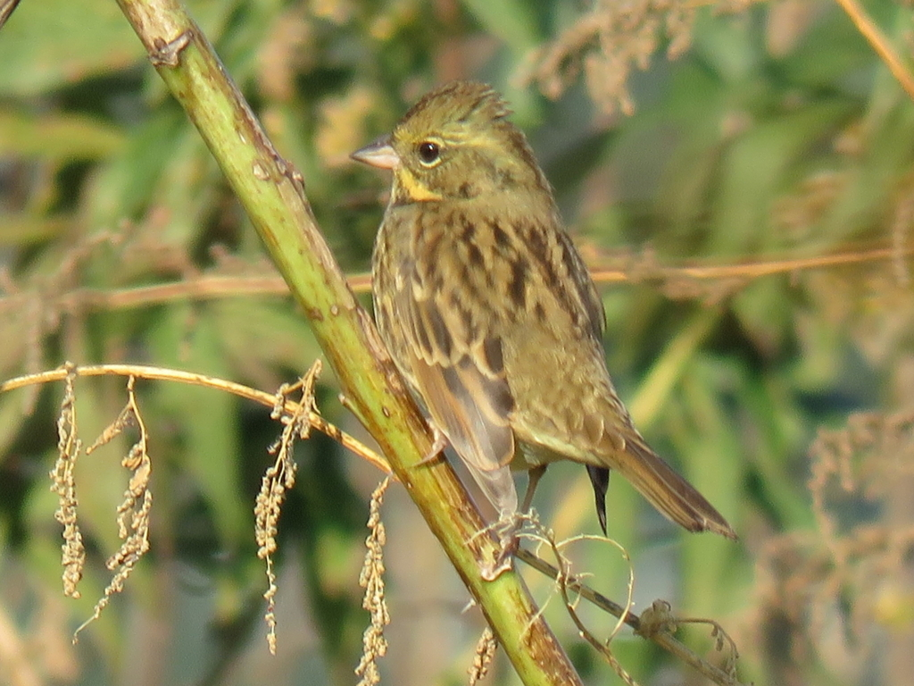 Black-faced bunting Aozi