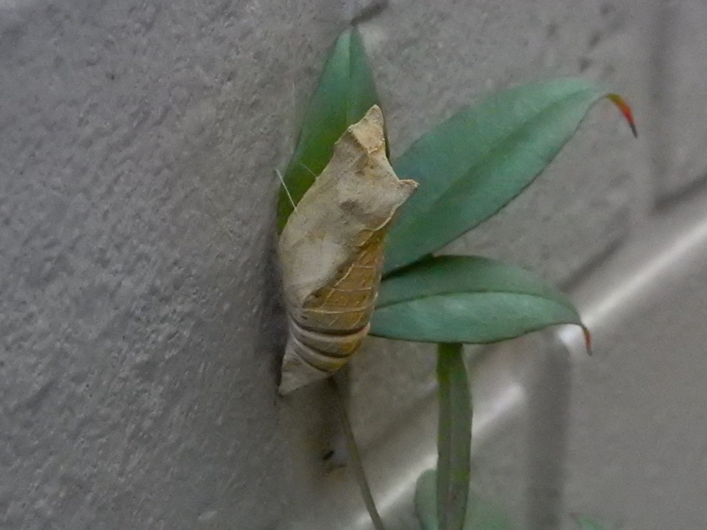 ナミアゲハ Asian Swallowtail pupa