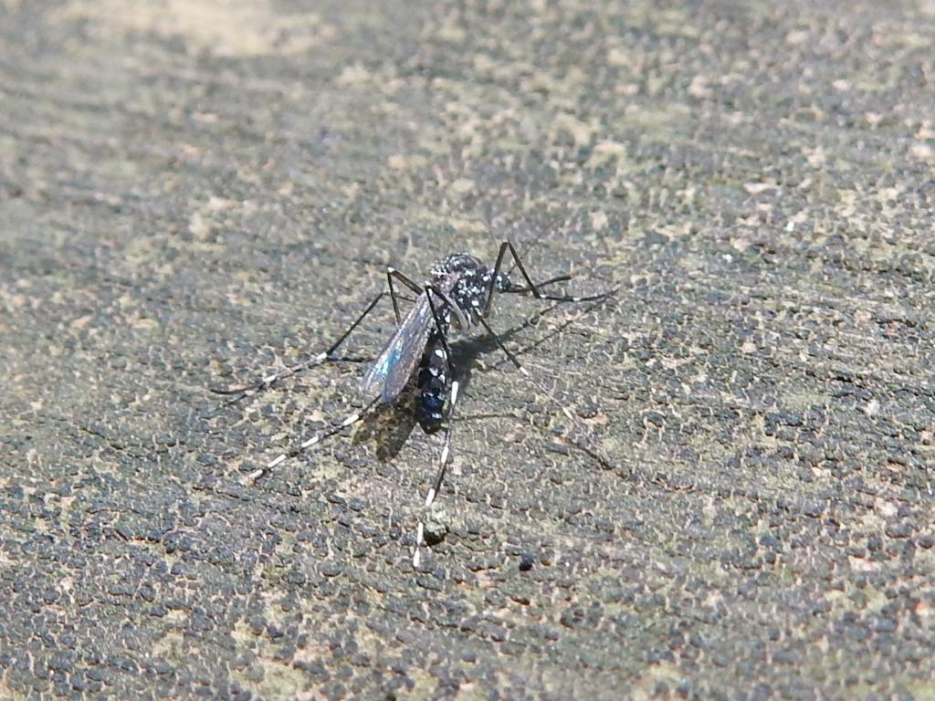 ヒトスジシマカ(蚊)