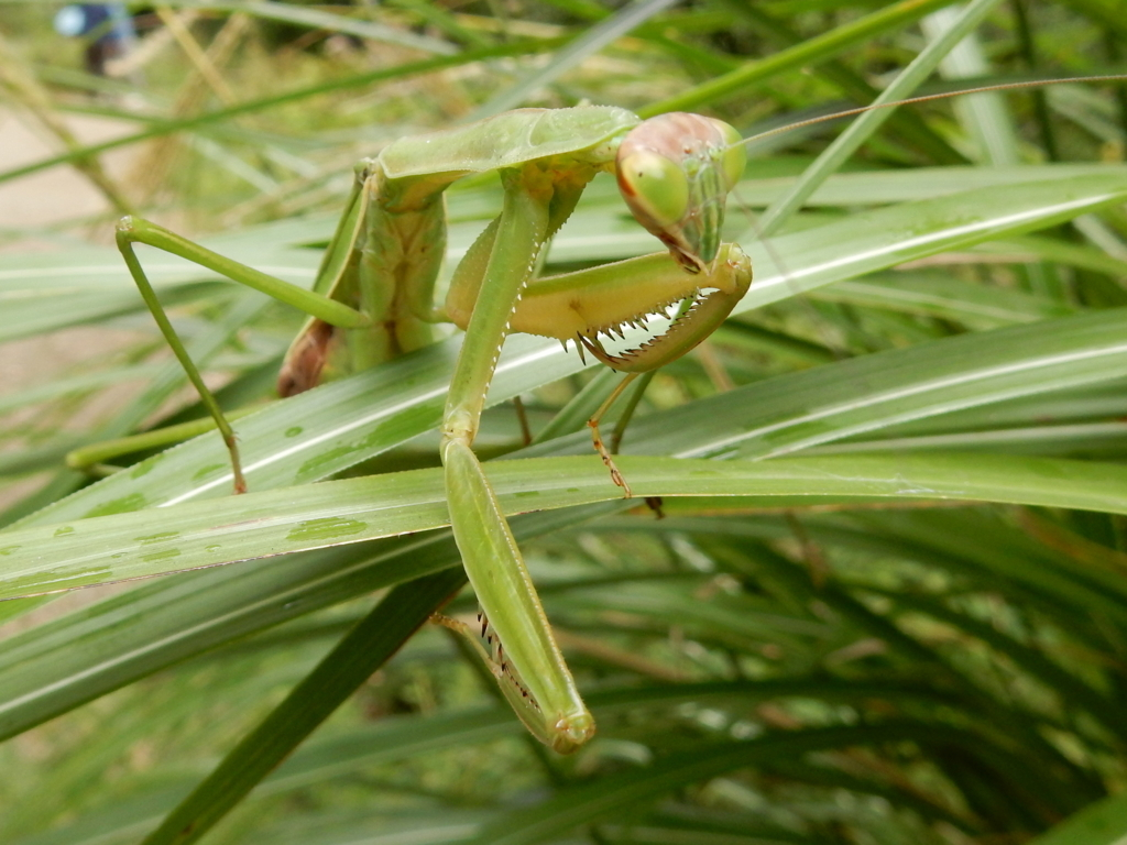 Japanese mantis