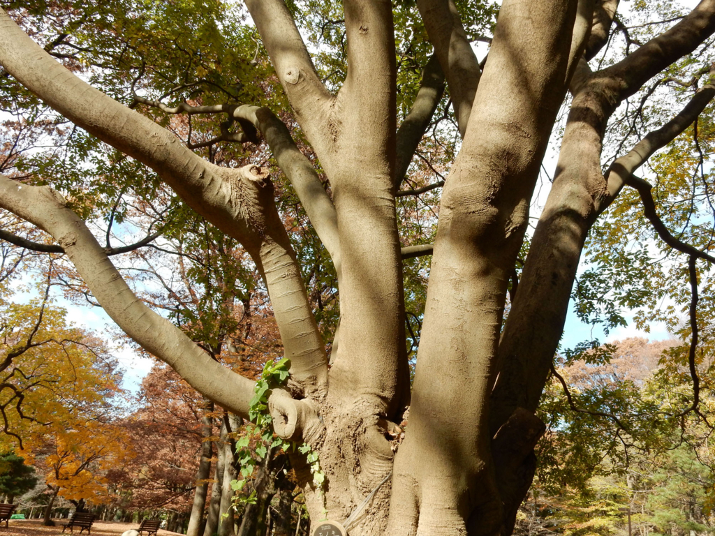 エノキ Chinese Hackberry