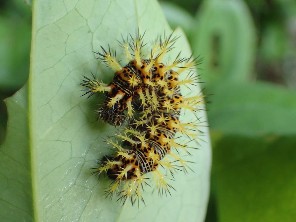 ルリタテハ 幼虫
