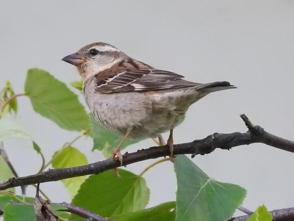 Russet Sparrow female