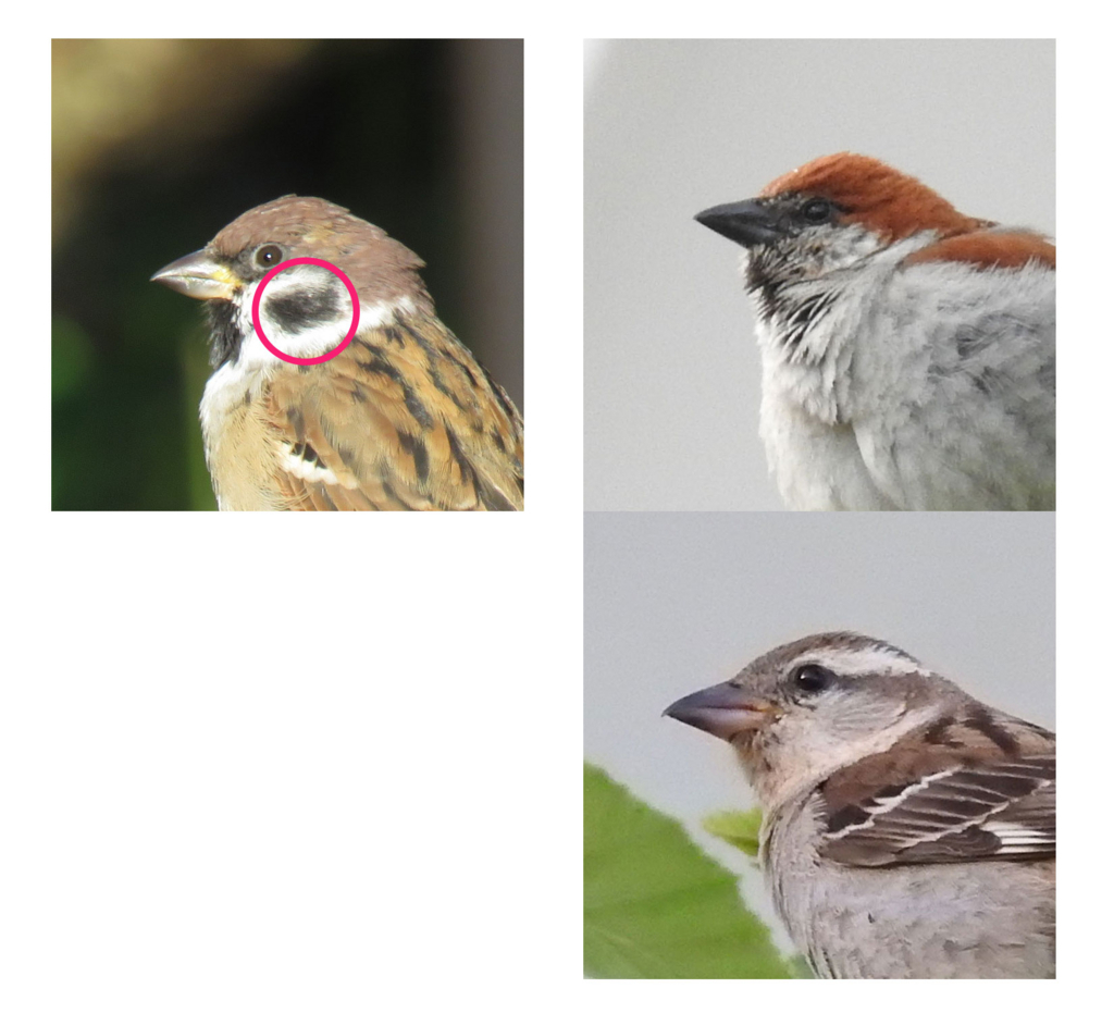 Differences of between Eurasian Tree Sparrow and Russet Sparrow