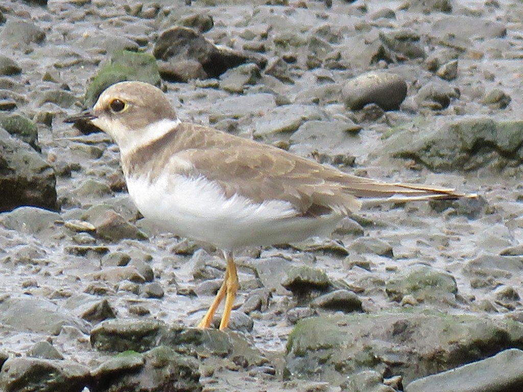 Little ringed plover (Ko-chidori)