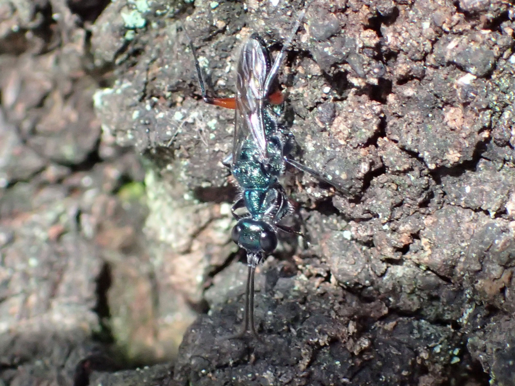 サトセナガアナバチ
