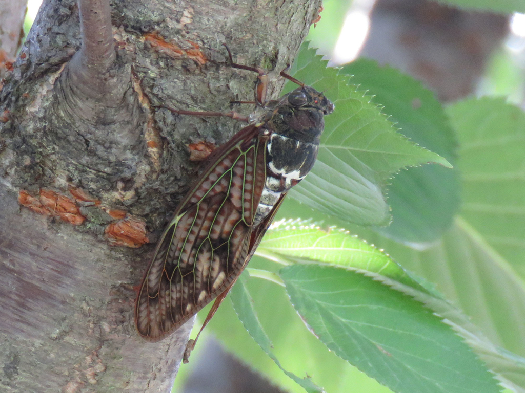 アブラゼミ Large Brown Cicada