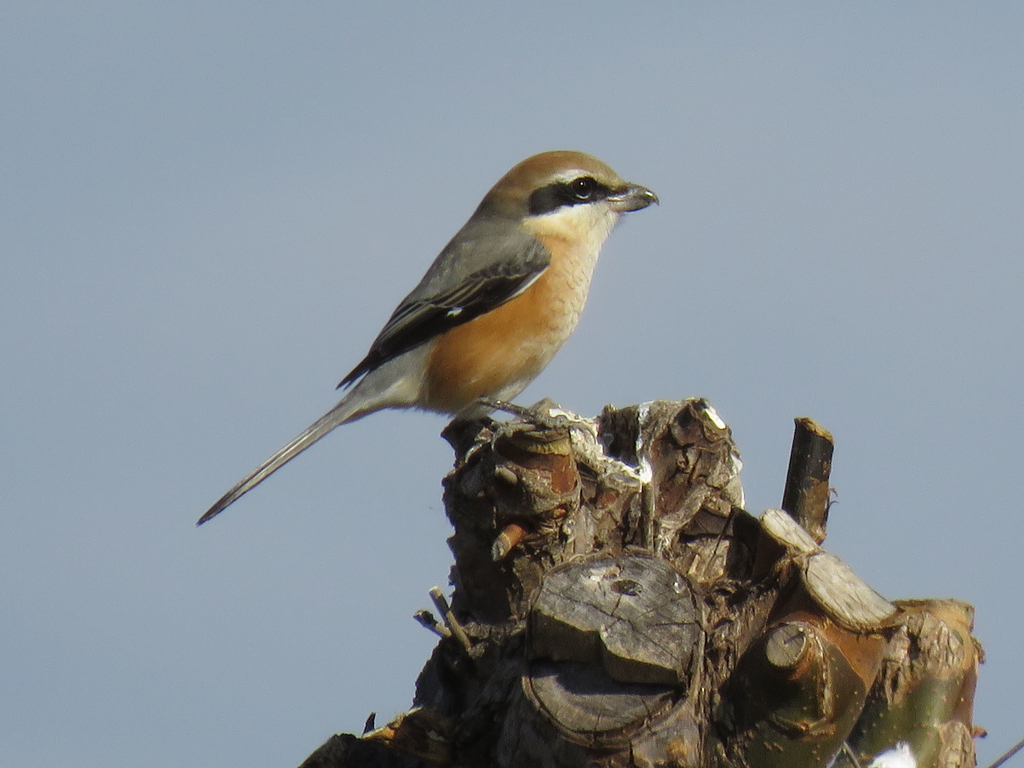 Bull-headed shrike (Mozu)