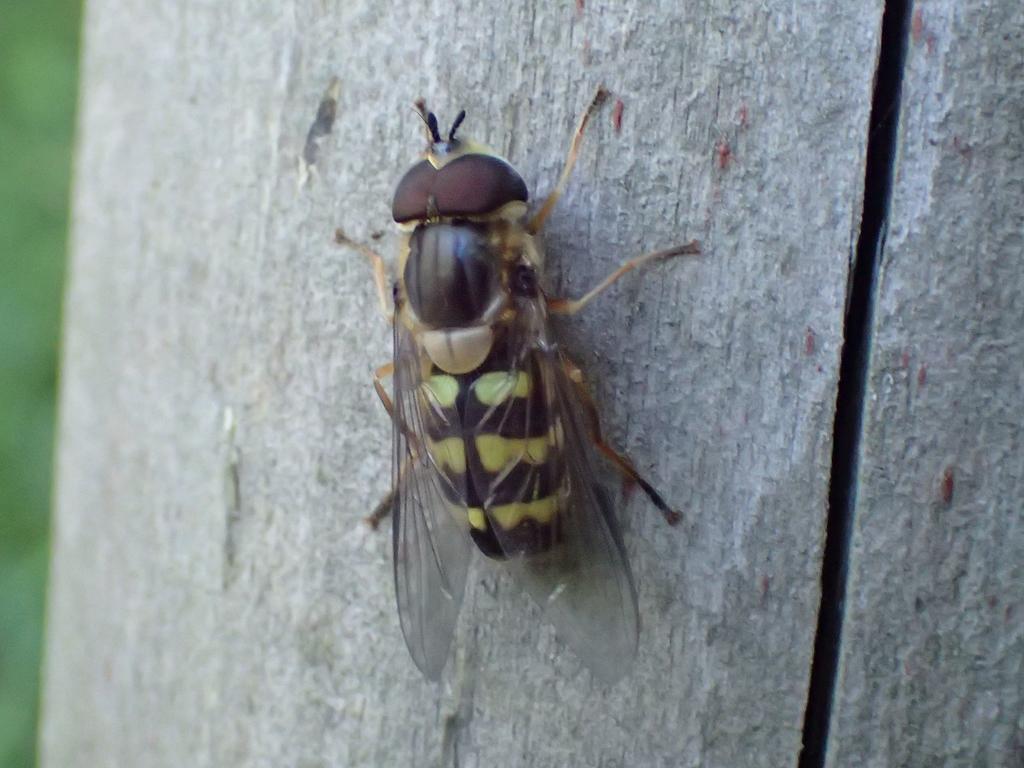 クロヒラタアブ 幼虫