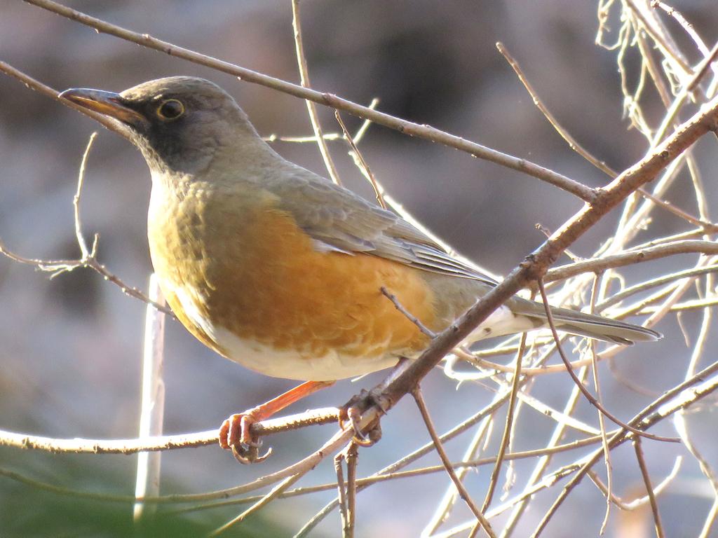 アカハラ|日本の鳥百科|サントリーの愛鳥活動
