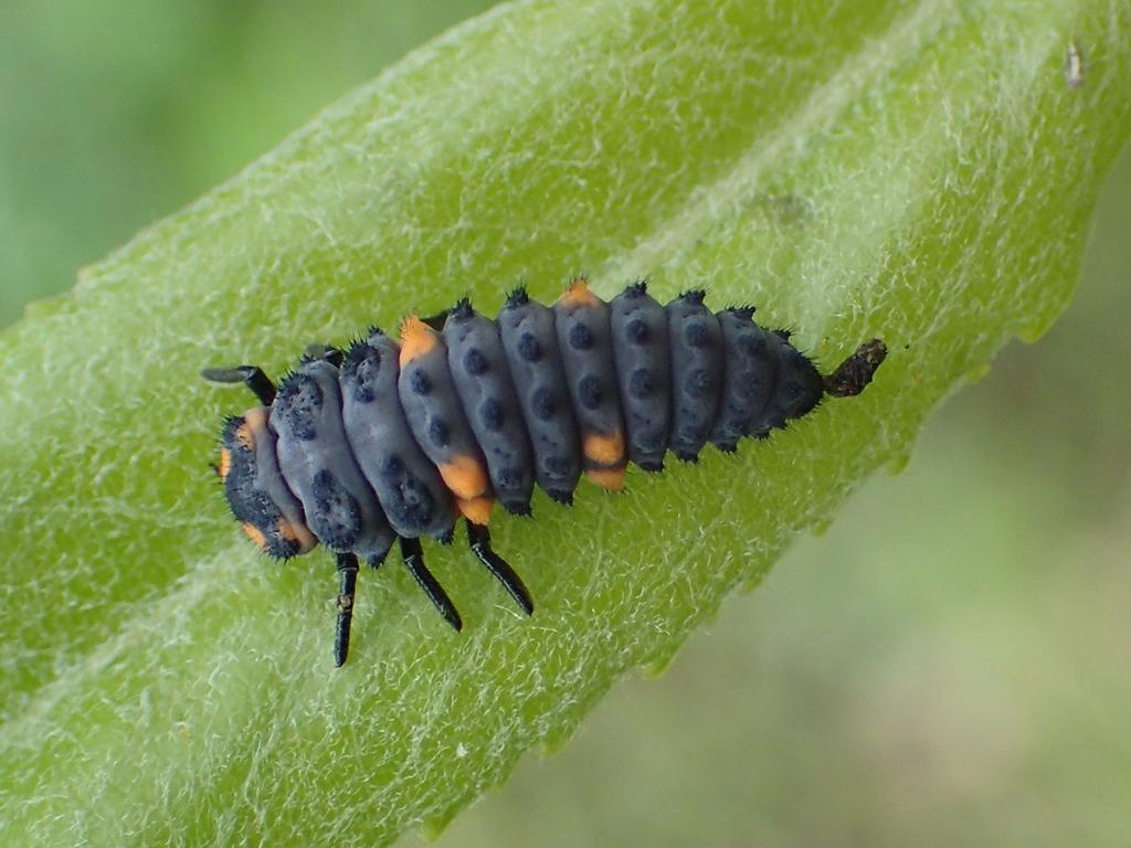 ナナホシテントウ 幼虫