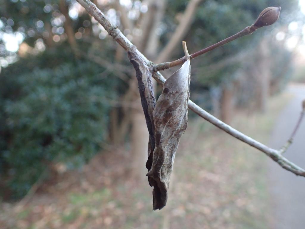 エダシャク幼虫