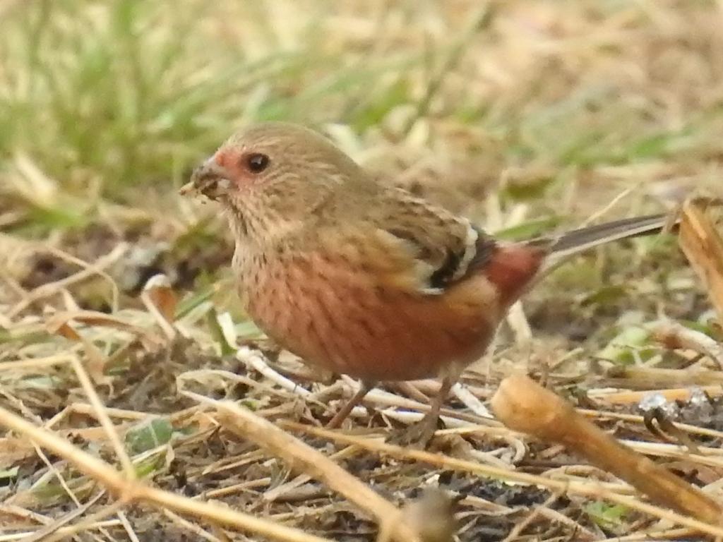 ベニマシコ 幼鳥