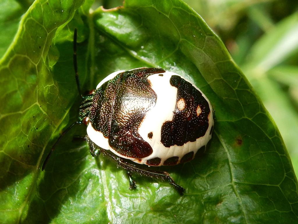 アカスジキンカメムシ 幼虫