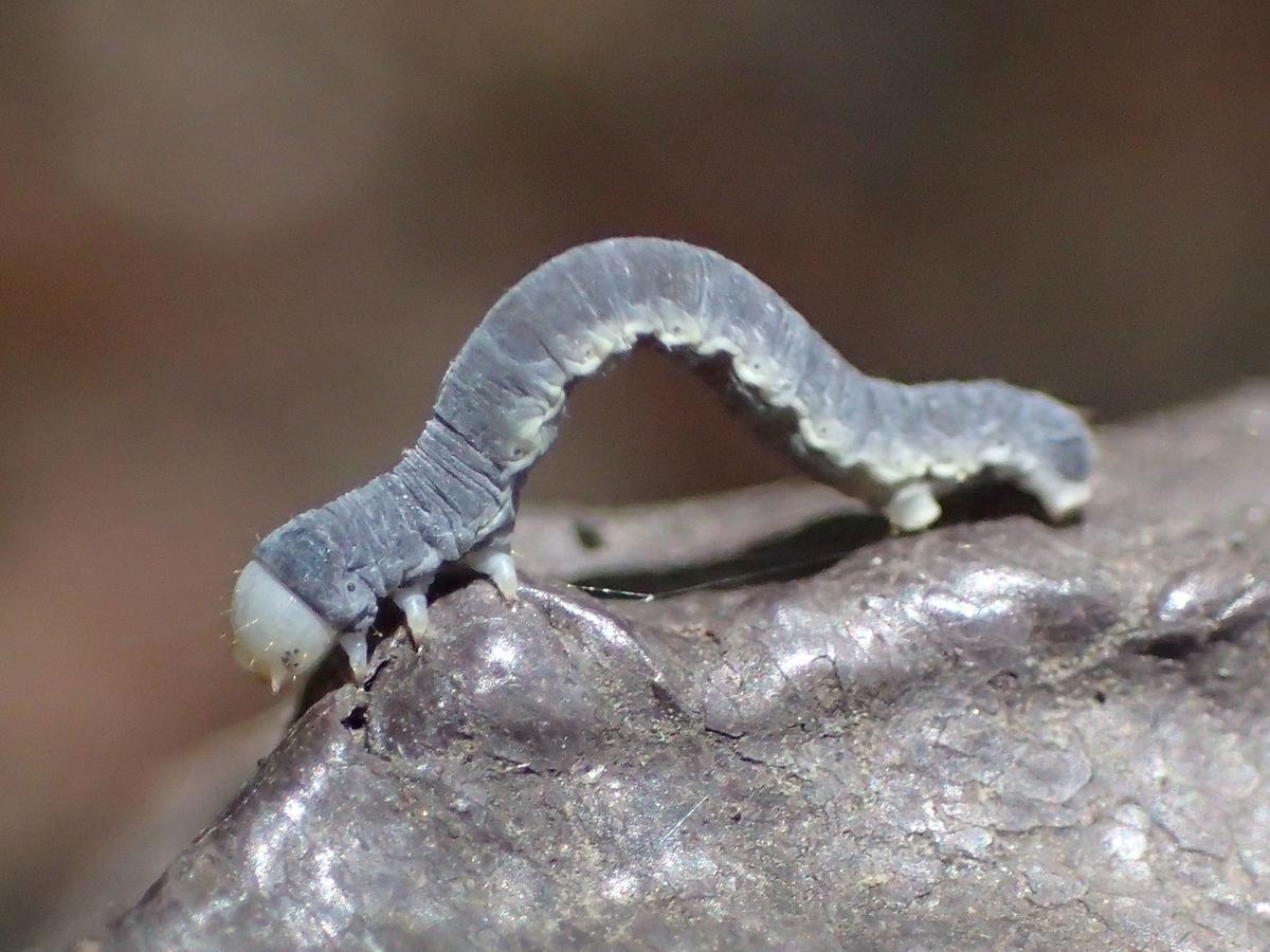ニトベエダシャク幼虫