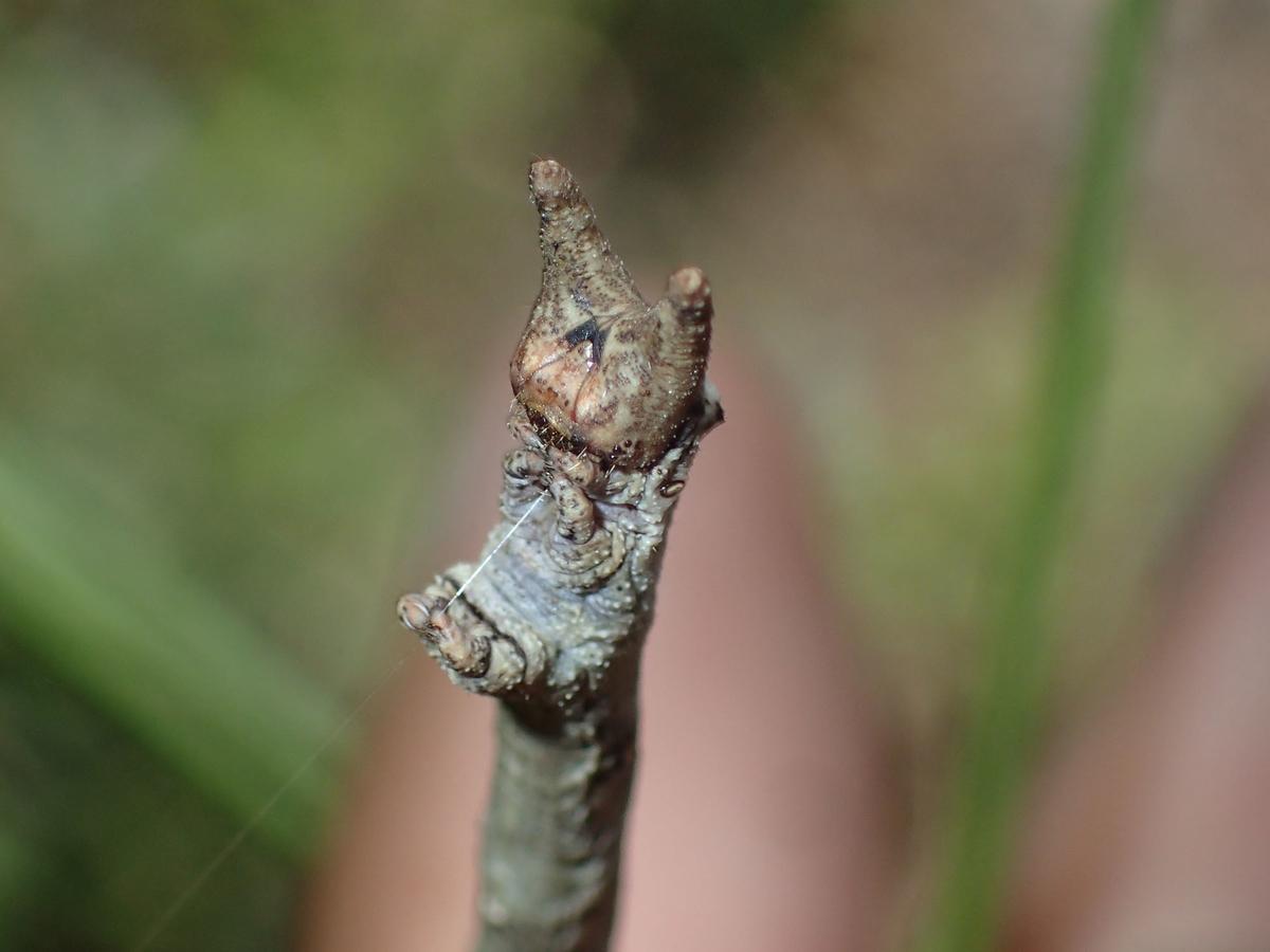 トビモンオオエダシャク幼虫