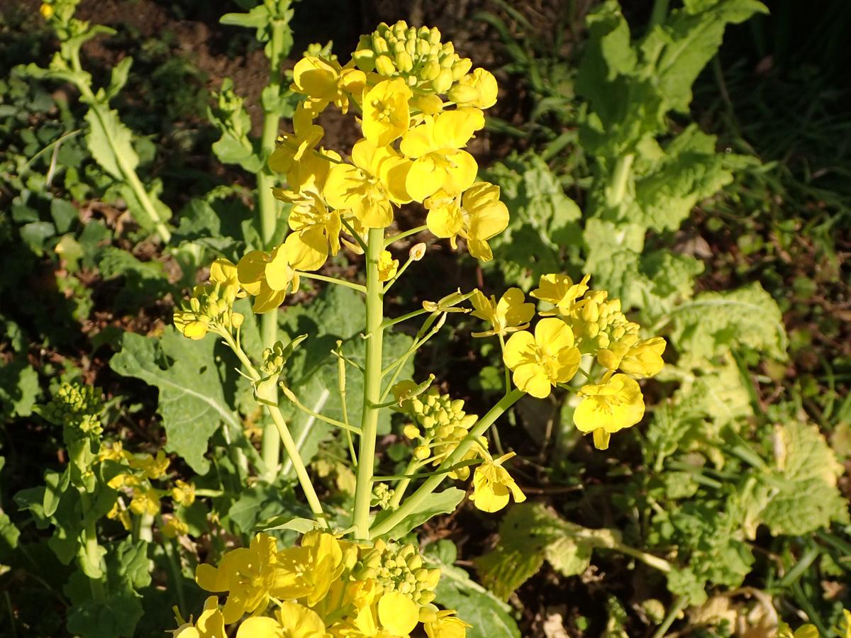 セイヨウアブラナ 菜の花