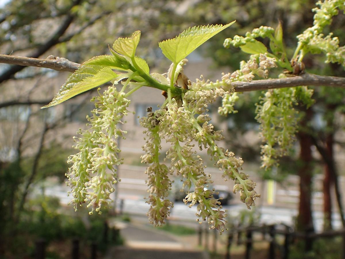 クワ(桑) 花