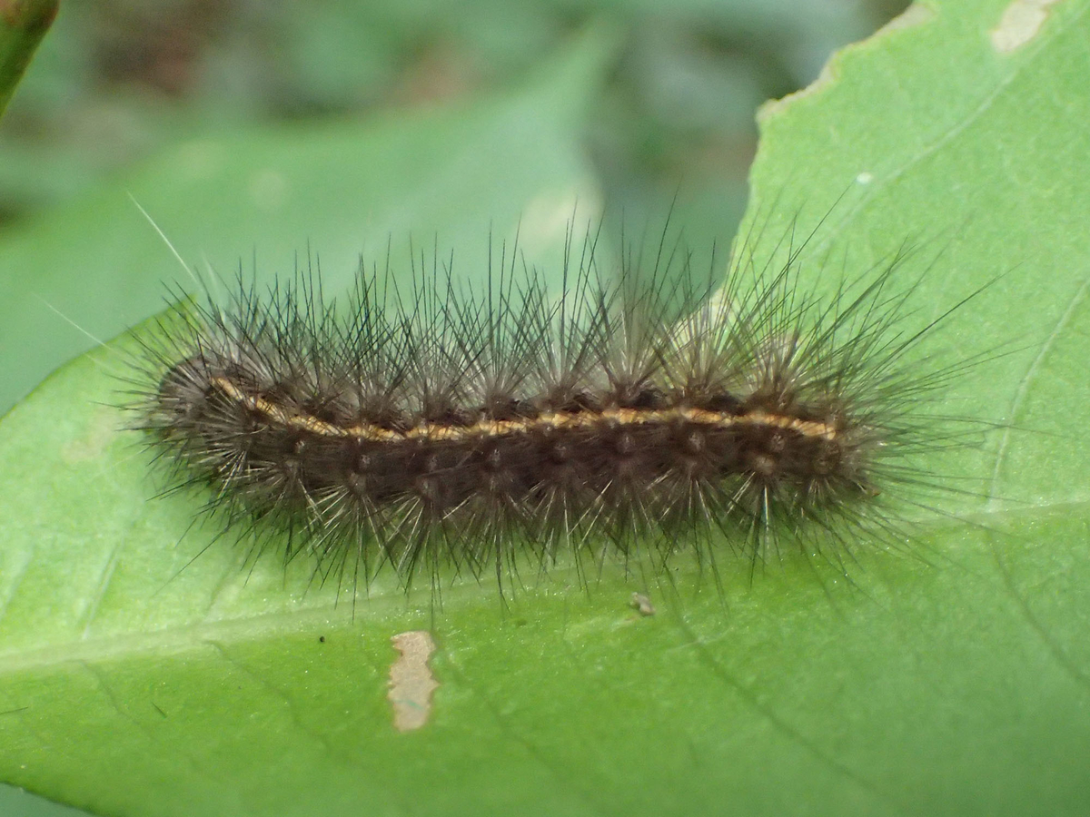 ゴマダラヒトリ 幼虫