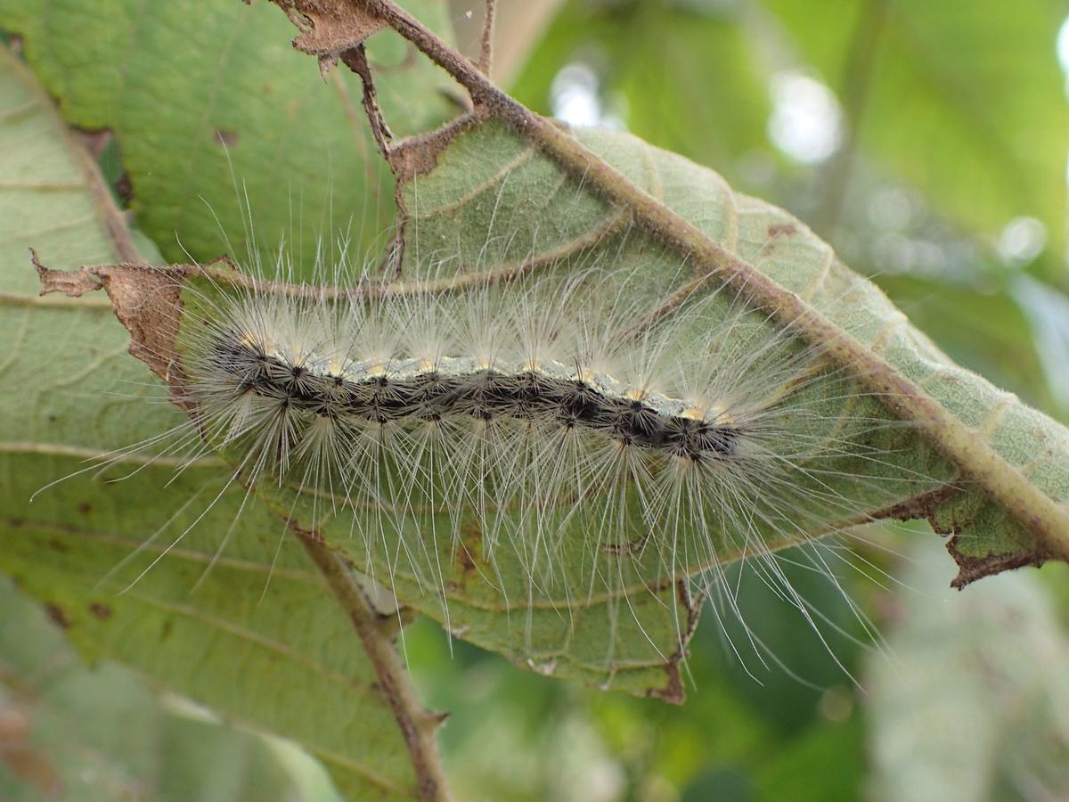 アメリカシロヒトリ 幼虫