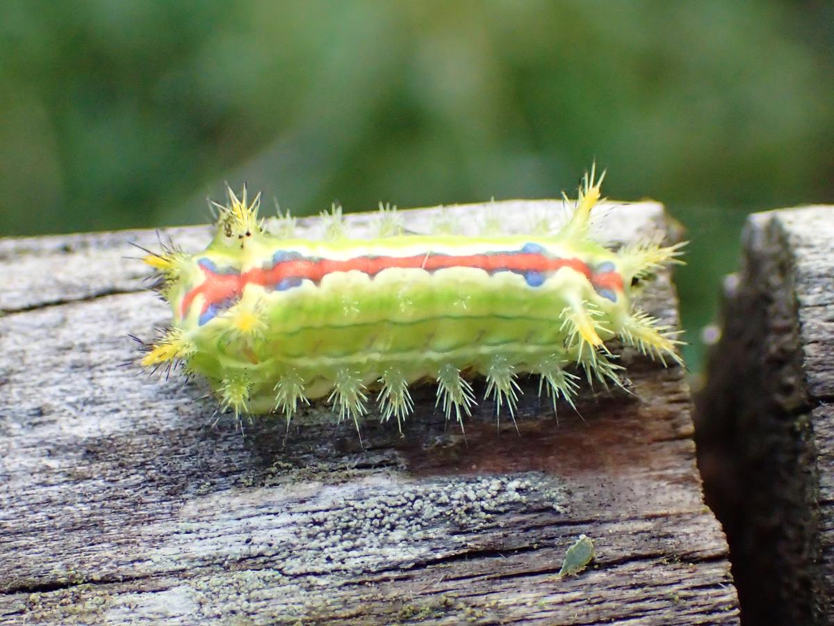 クロシタアオイラガ 幼虫