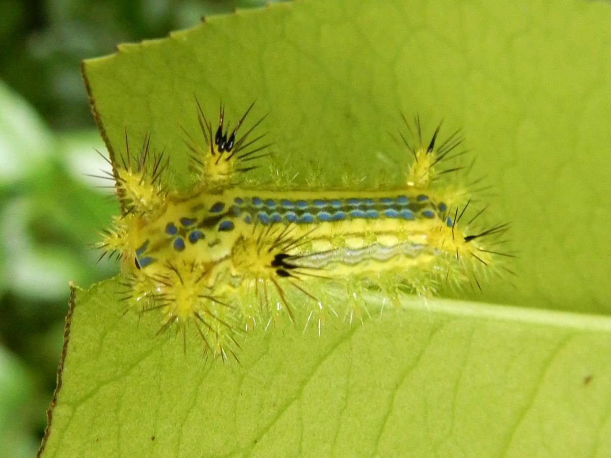 ヒロヘリアオイラガ 幼虫