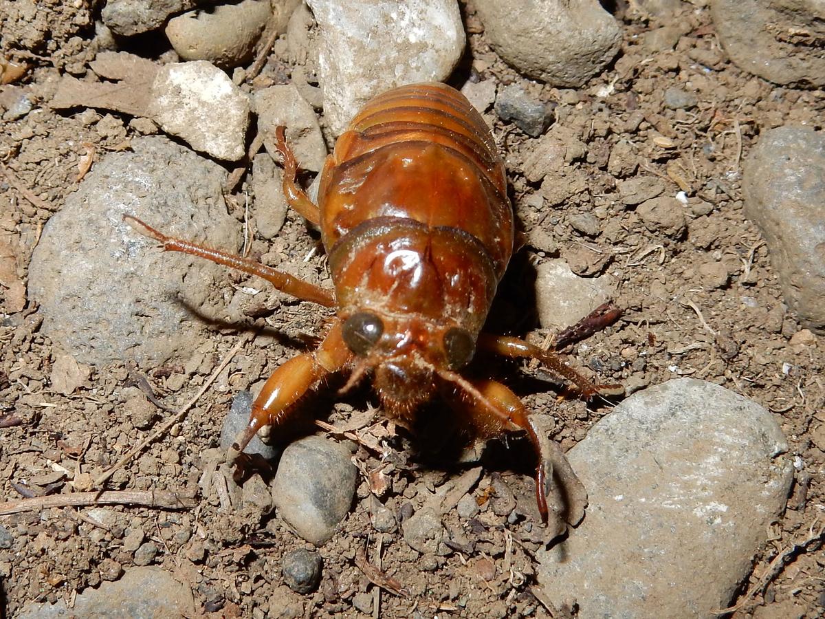 アブラゼミ 幼虫