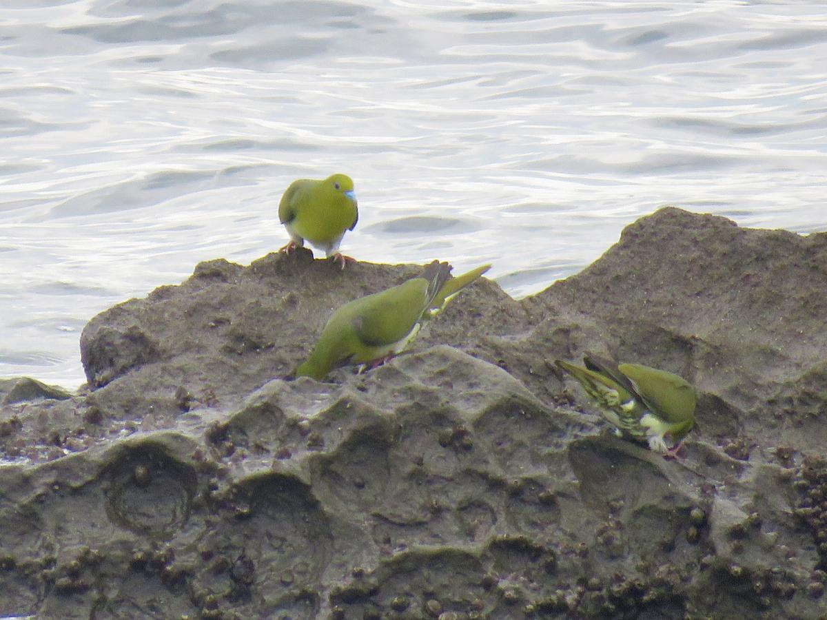 アオバト 海水