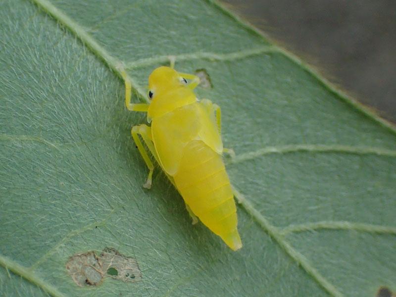 ツマグロオオヨコバイ 幼虫