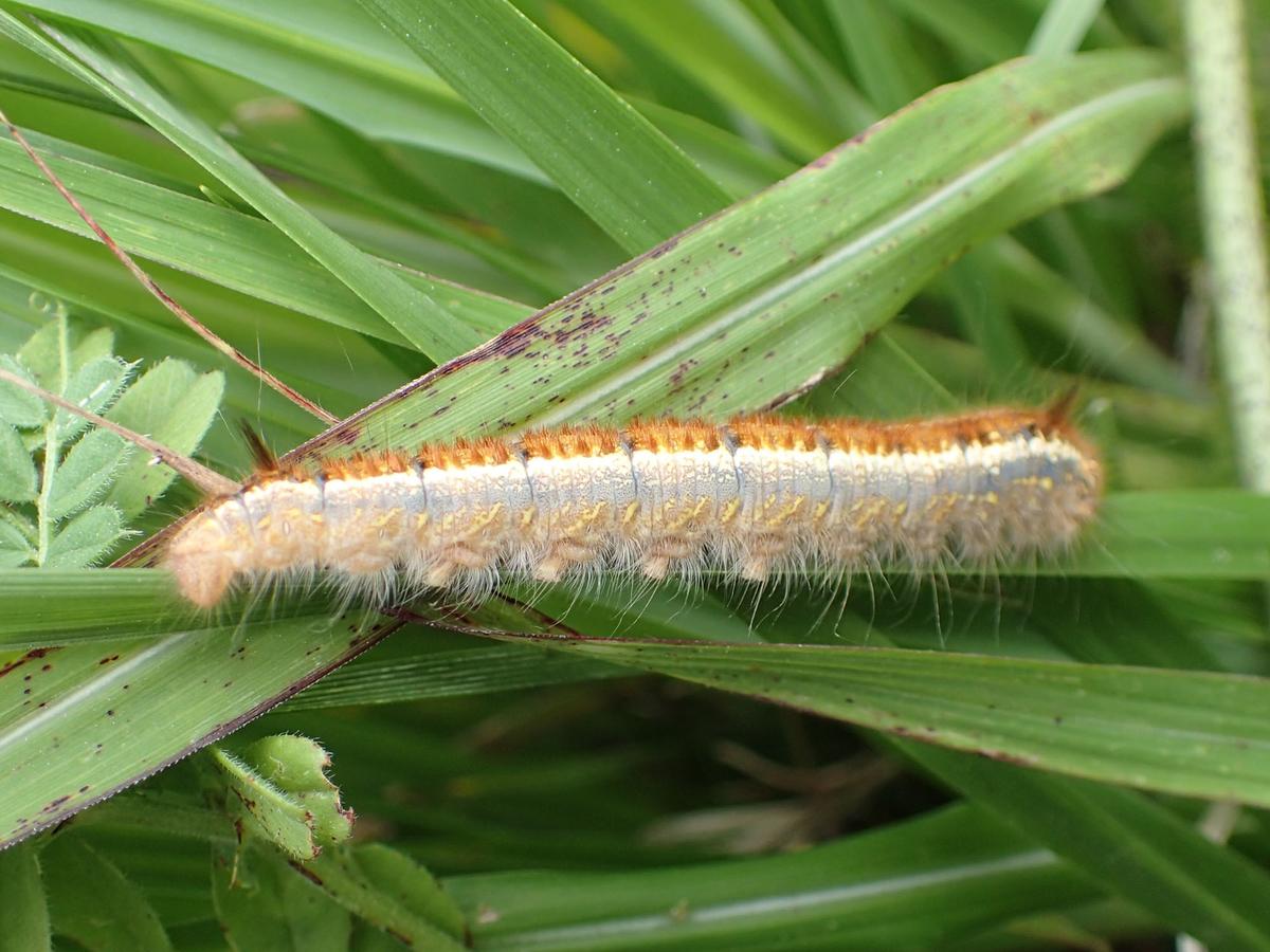 タケカレハ 幼虫