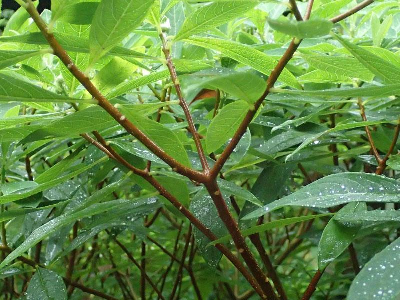 ミツマタ 枝