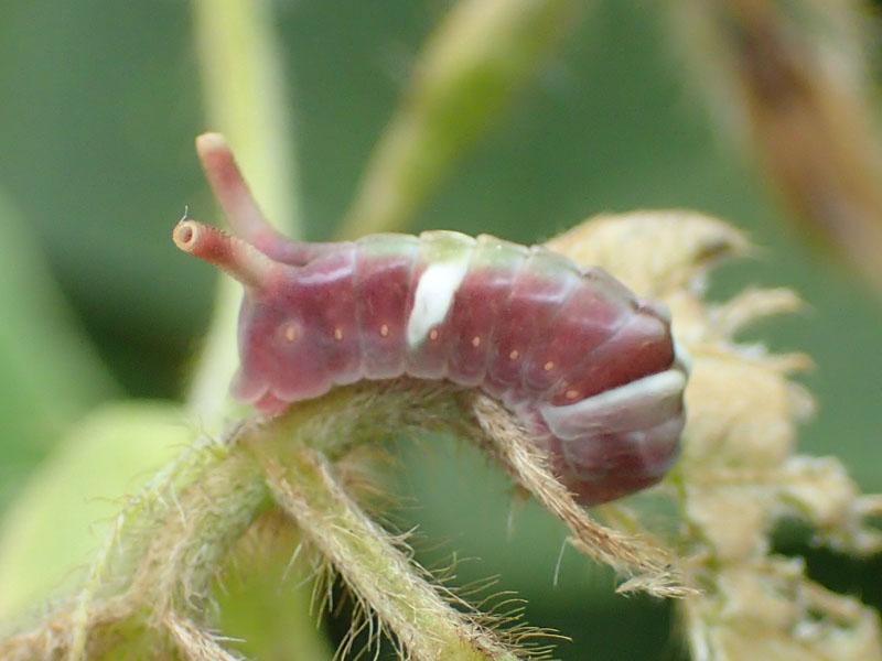 ウラギンシジミ 幼虫