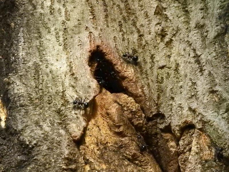 トゲアリ 巣