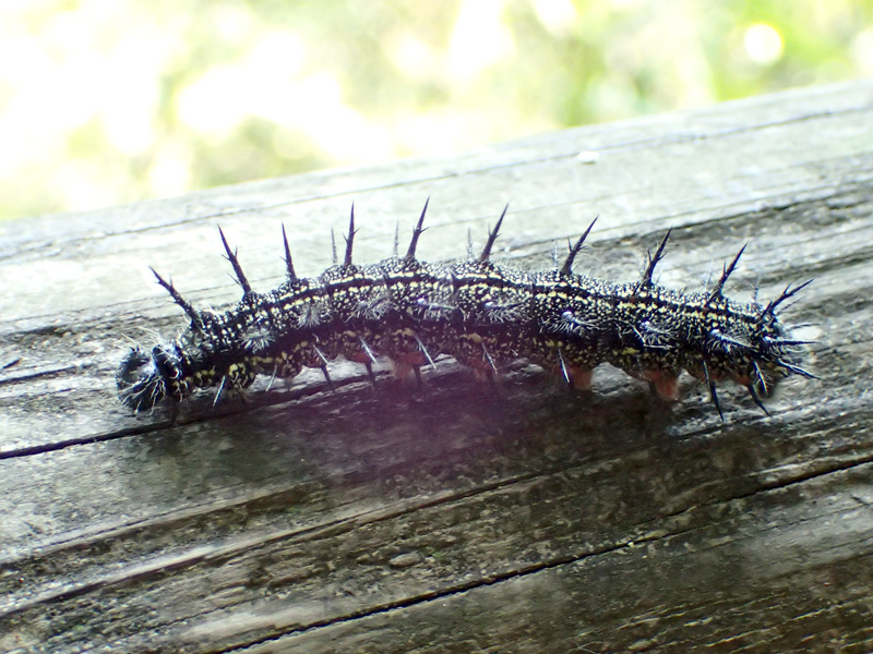 ヒオドシチョウ 幼虫