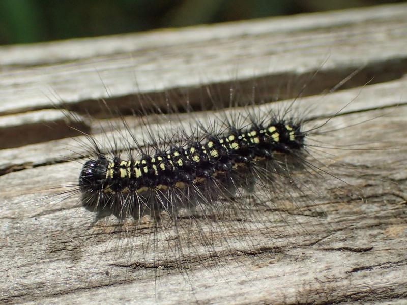 キアシドクガ 幼虫